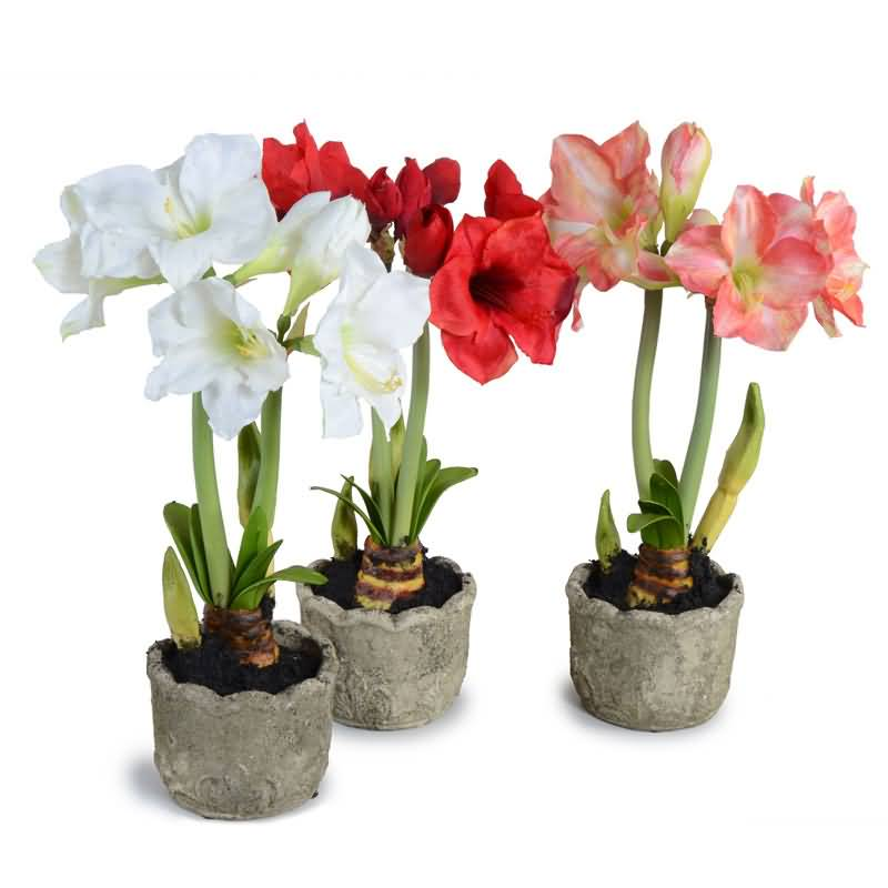 Amazing Amaryllis Flowers Bulbs Picture