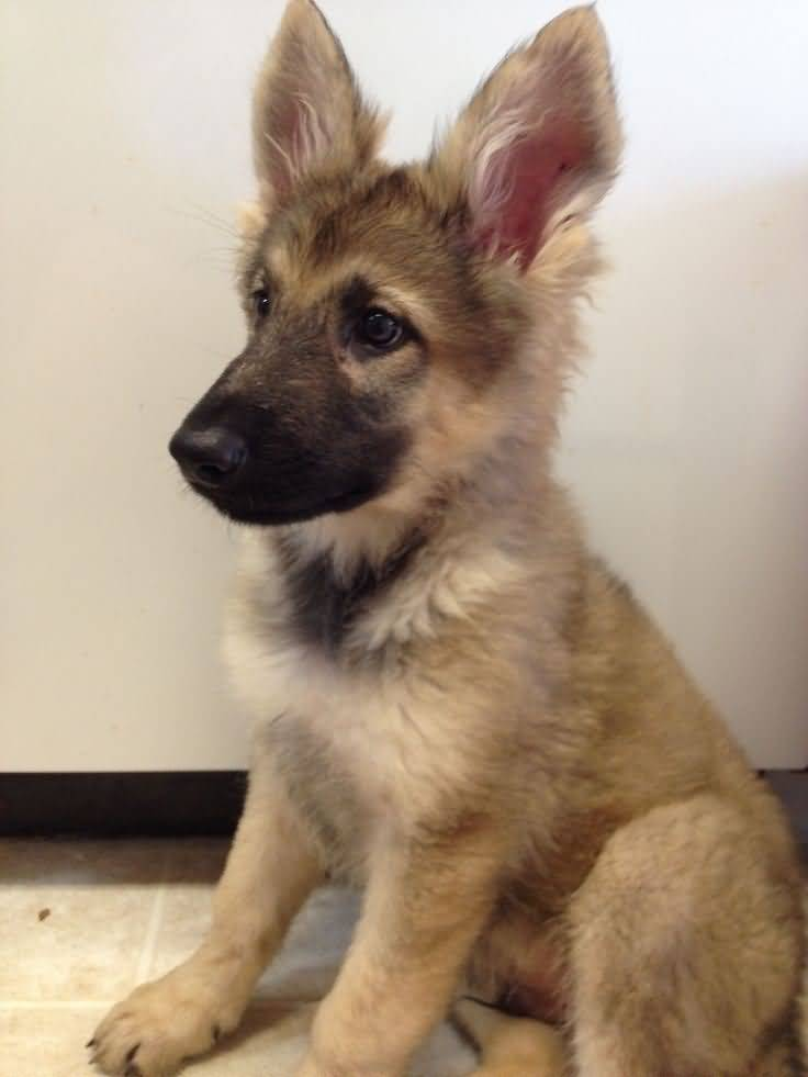 60 Awesome German Shepherd Dogs And Puppies Segerios Com