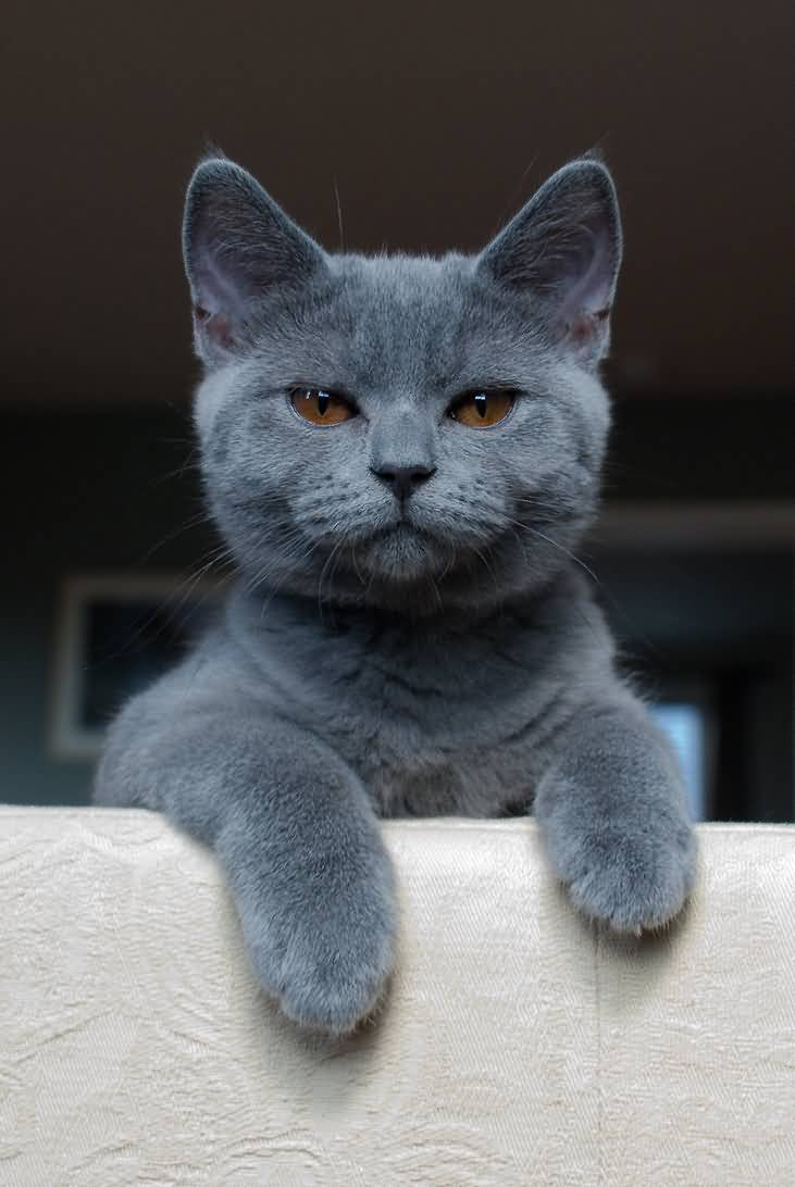 Are british blue cats hypoallergenic – Popular breeds of cats