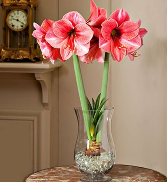 Many Red Amaryllis Flower Bulds Plant In Vase