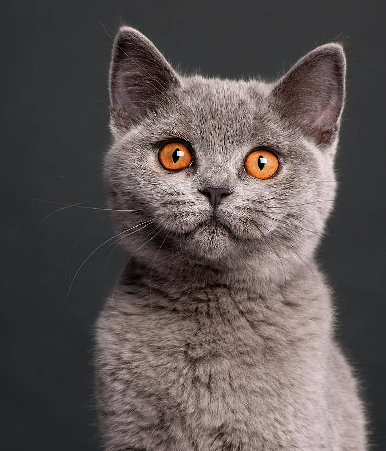 blue Orange british eyes shorthair