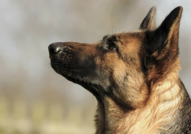 Thinking German Shepherd Dog Picture