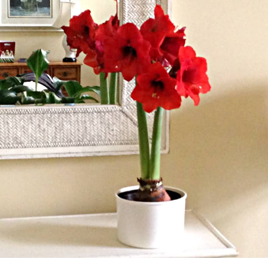 Very Nice Amaryllis Flower With Bulbs In Vase