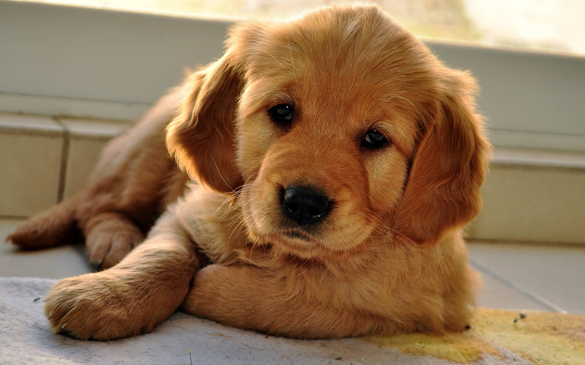 Download Baby Brown Adorable Dog - Amazing-Brown-Golden-Retriever-Baby-Dog-Laying-On-Floor  2018_81570  .jpg