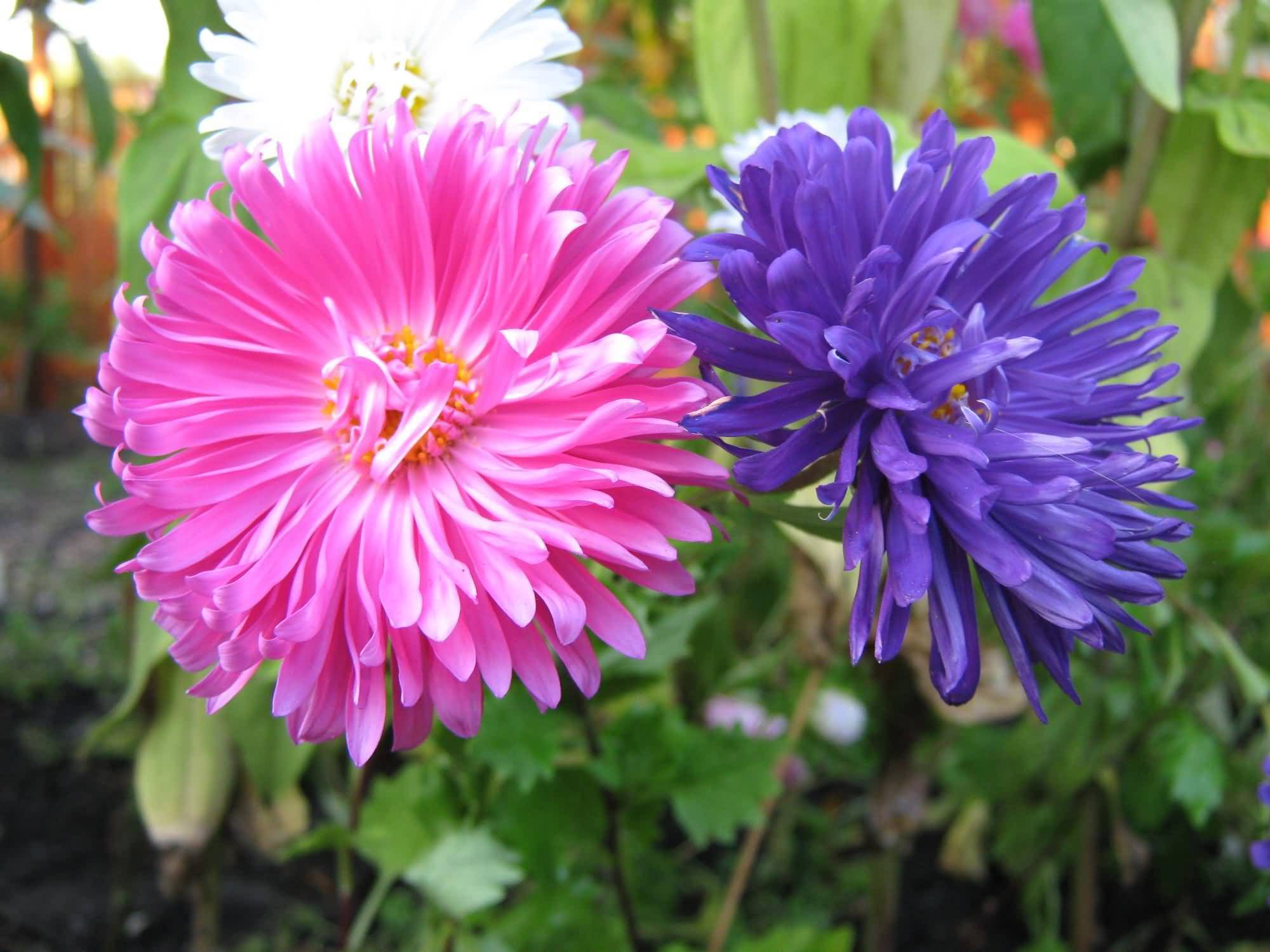 Awesome Pink And Blue Aster Flower For Bouquet