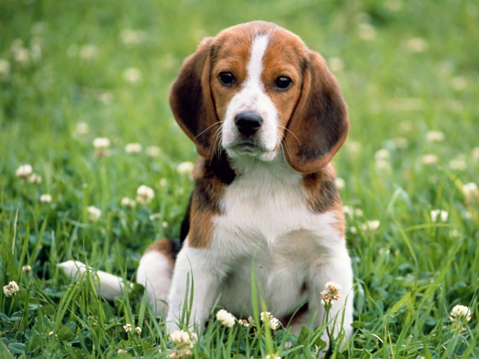 Brilliant Brown And White Beagle Dog Looking At You