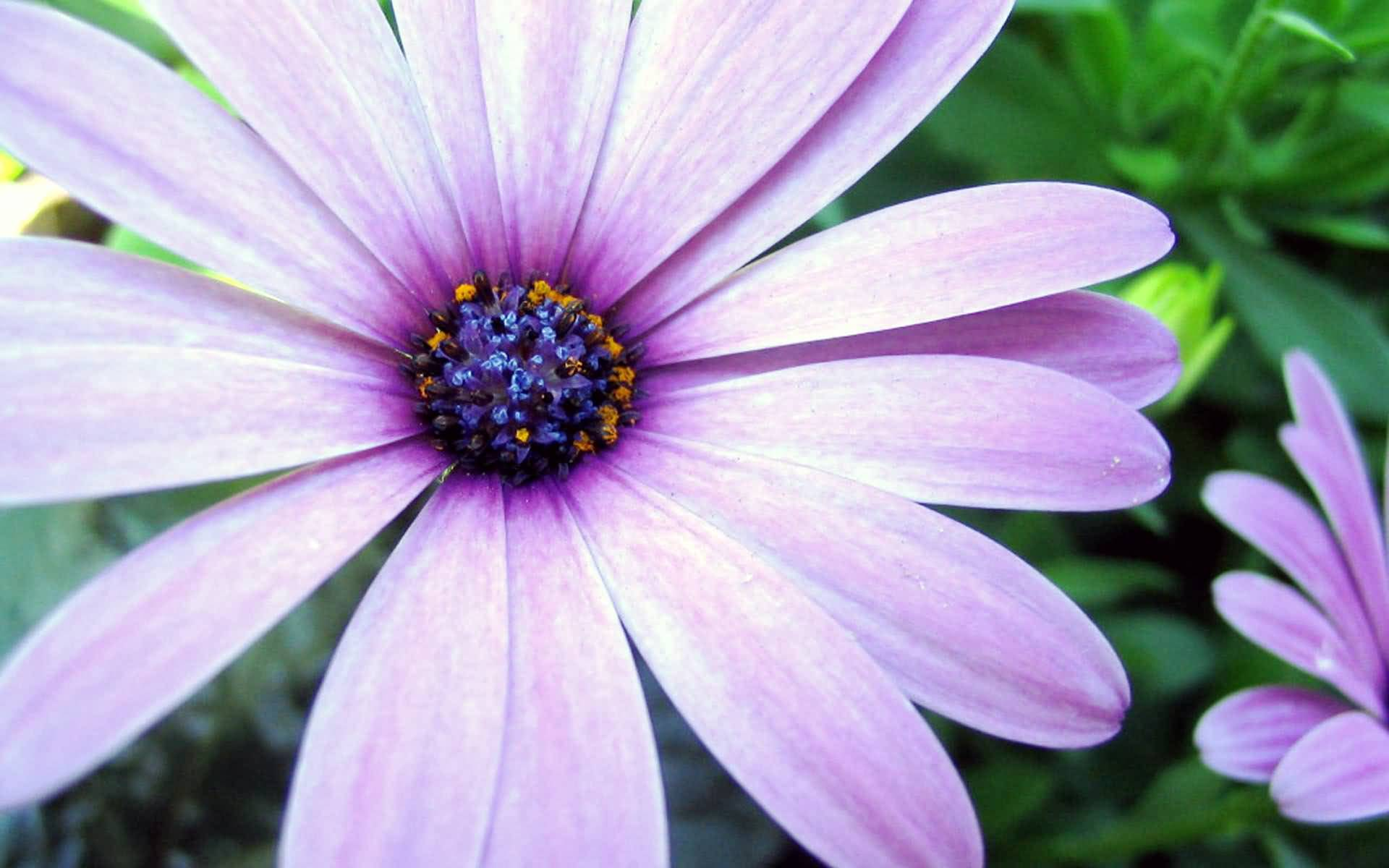 Outstanding white anemone with center blue flower image coolest purple aster flower with blue center izmirmasajfo