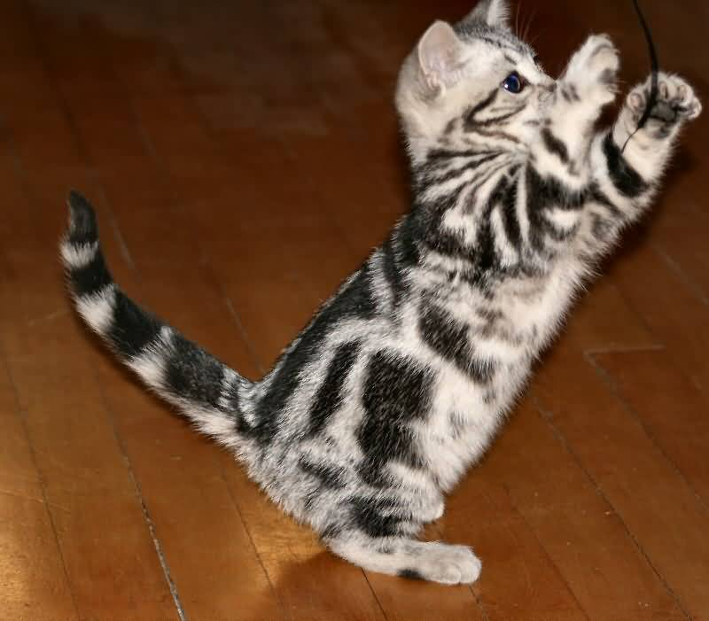 Cute Small American Shorthair Cat Stan On Two Legs