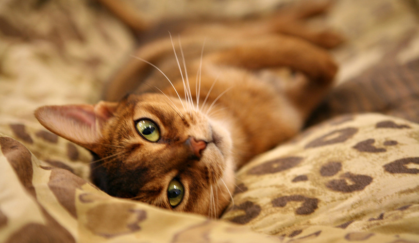 Cutest Abyssinian Cat With Green Eyes Looking At You