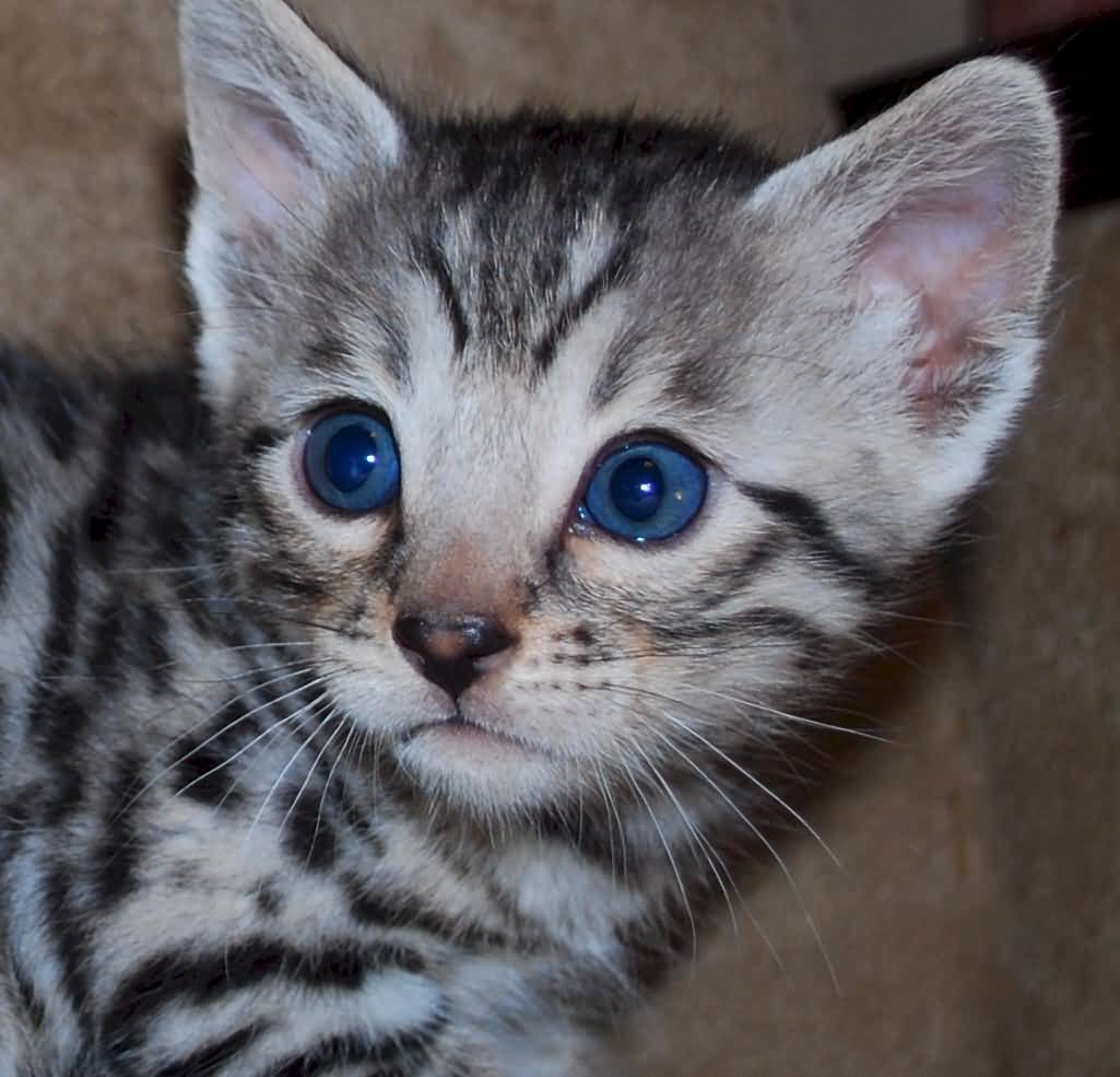 Cutest Bengal Cat Have Gorgeous Blue Eyes