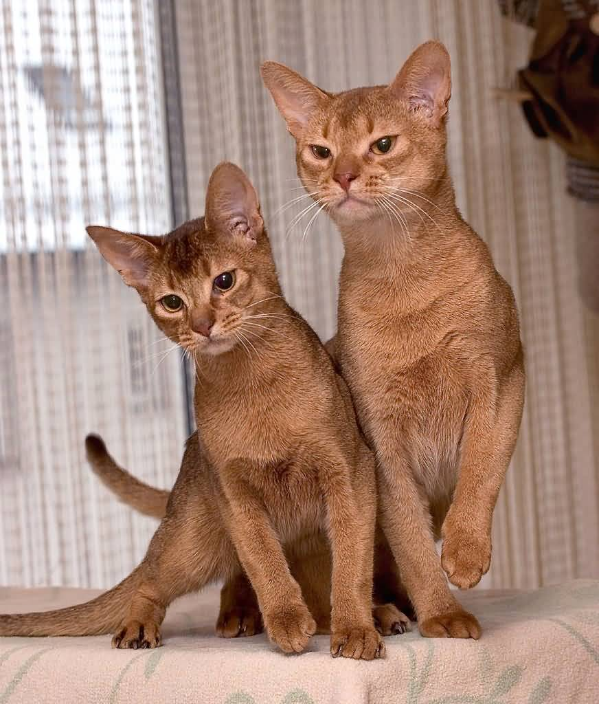 Cutest Red Ruddy Abyssinian Cat With Friend