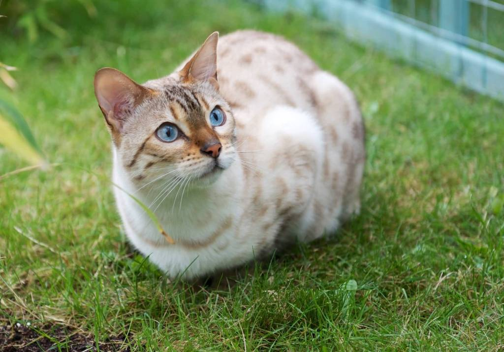 What Food Do Bengal Cats Like