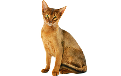 Famous Ruddy Abyssinian Cat Looking At You