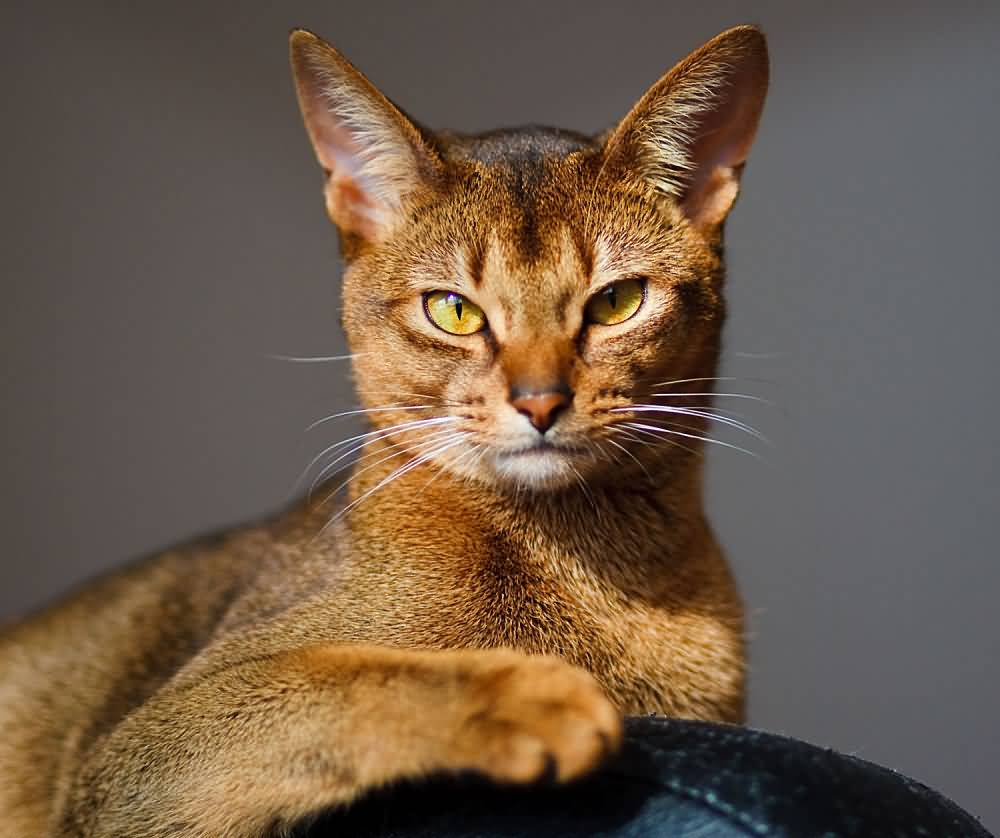 Fantastic Brown Abyssinian Cat With Amazing Yellow Eyes