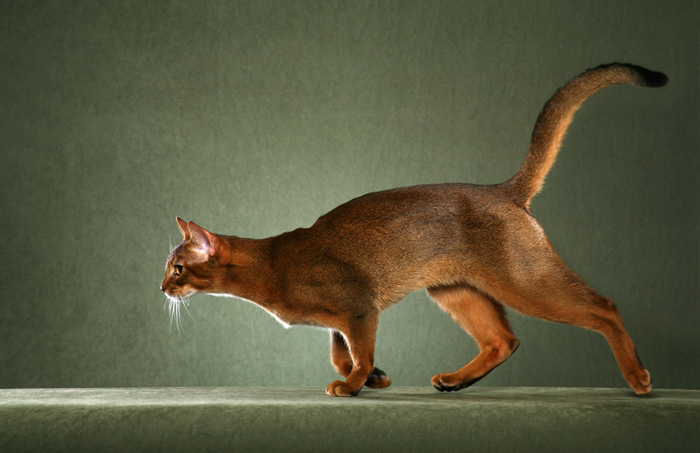 Fantastic Red Abyssinian Cat Running