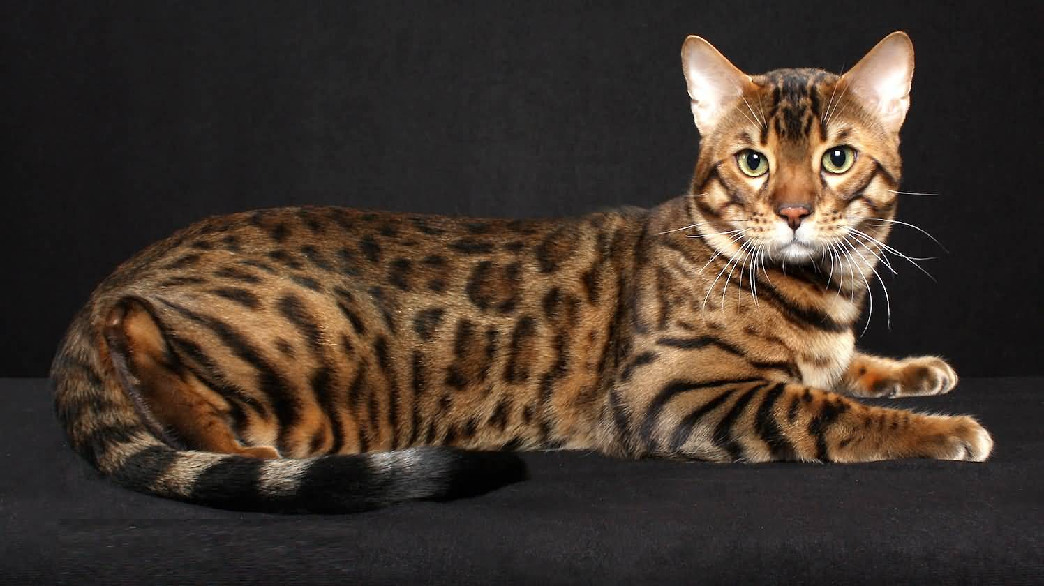 Full Grown Bengal Cat Pictures
