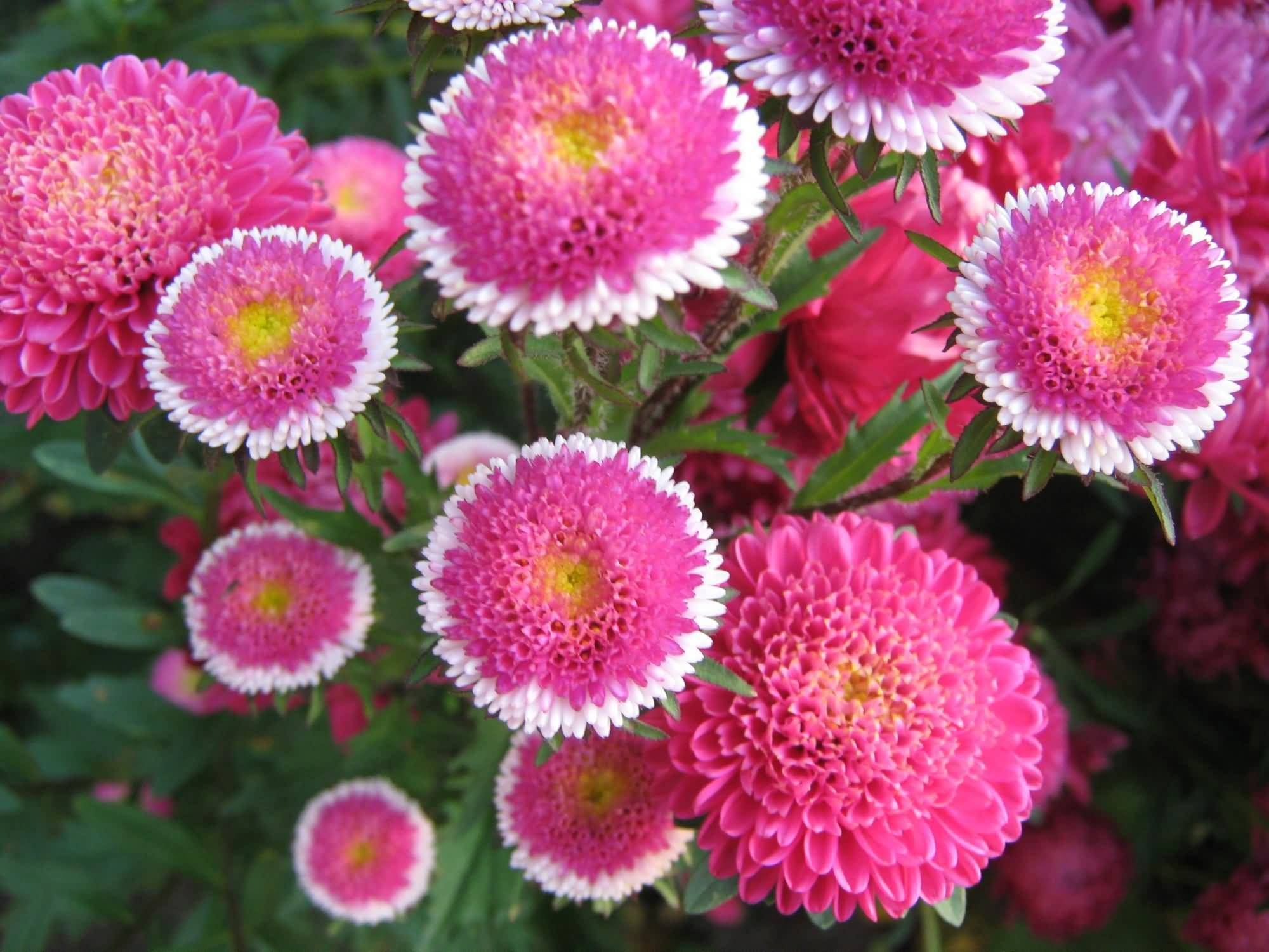 Different Kinds Of Pink Asters Flowers
