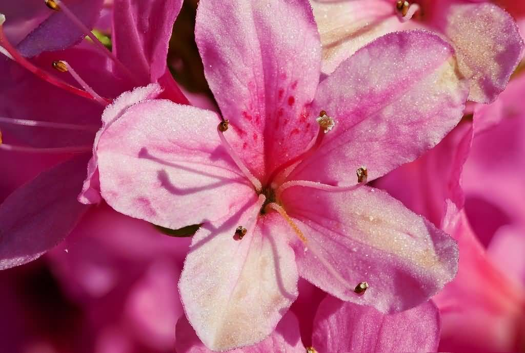 Impressive Pink Azalea Flowers For Decorate Weddings