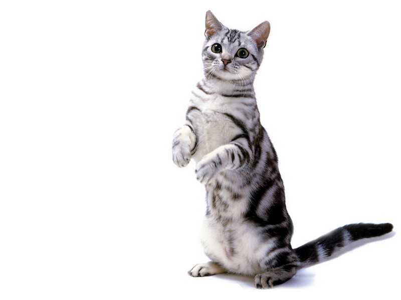 Innocent American Shorthair Cat Standing On Their Both Legs