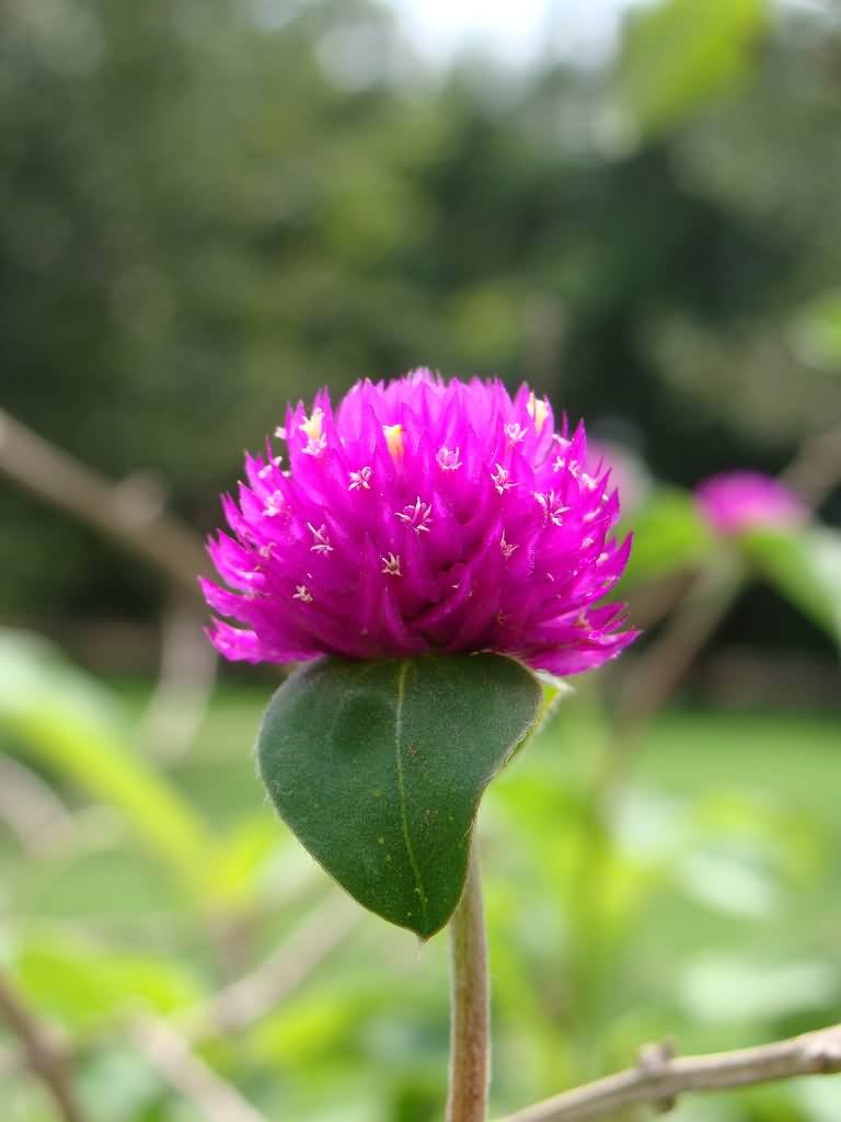 Lovely Pink Flower Globe Amaranth In Plant