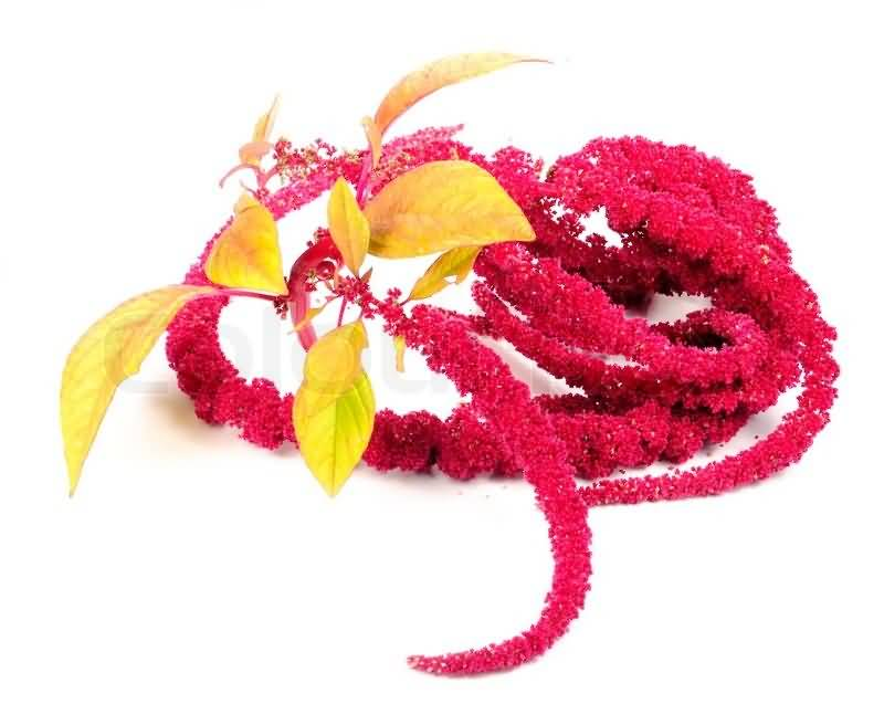Lovely Red Amaranth Flowers For Girlfriend