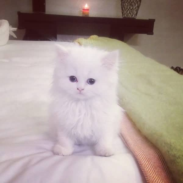 60 Adorable Persian Cats And Kittens Segerios Com