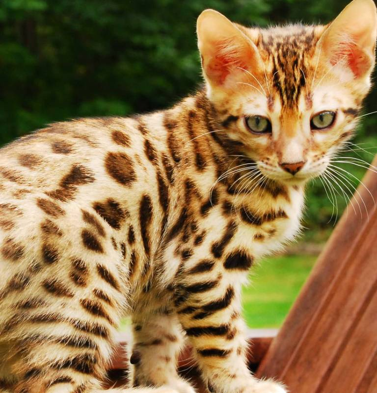 Most Beautiful Bengal Cat Baby Kitten