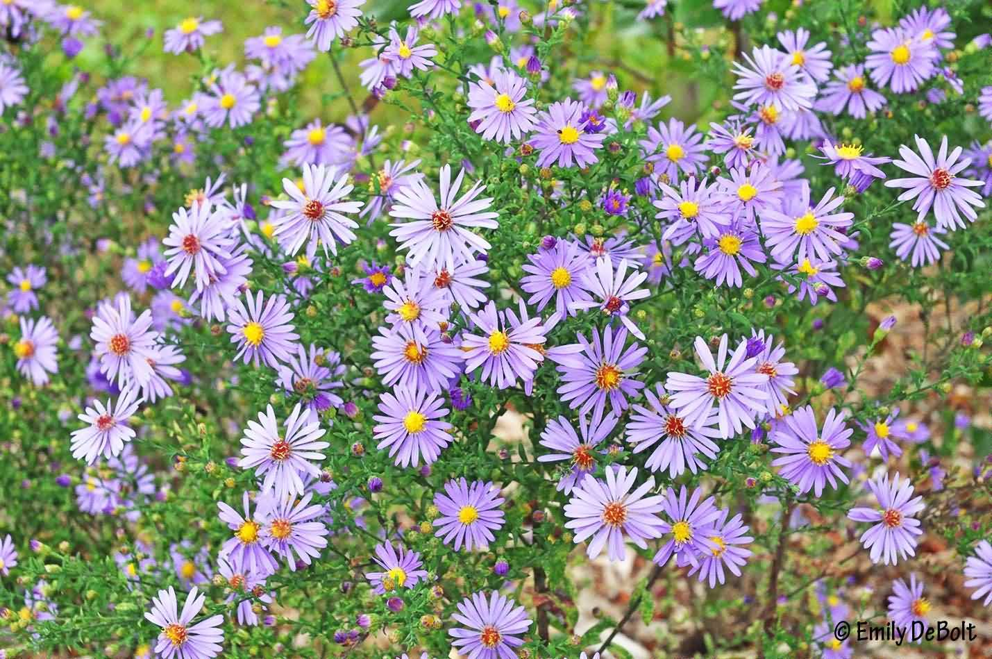 Most Beautiful Blue Aster Flowers In Plant
