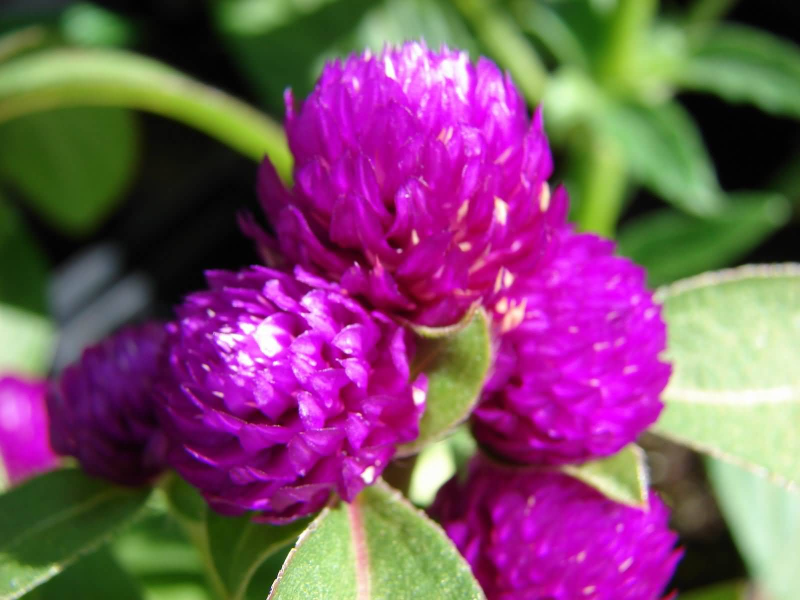 Nice Green Leaf Purple Flower Globe Amaranth Wallpaper