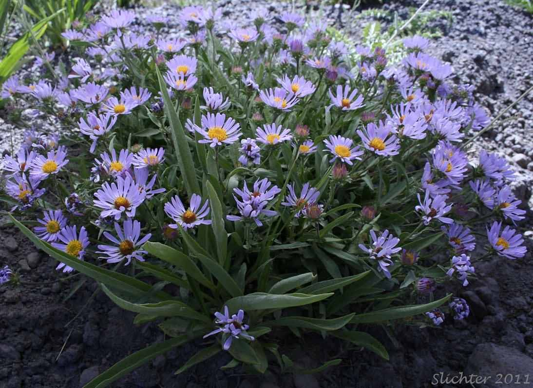Outstanding Collection Of Blue Aster Flower Plants