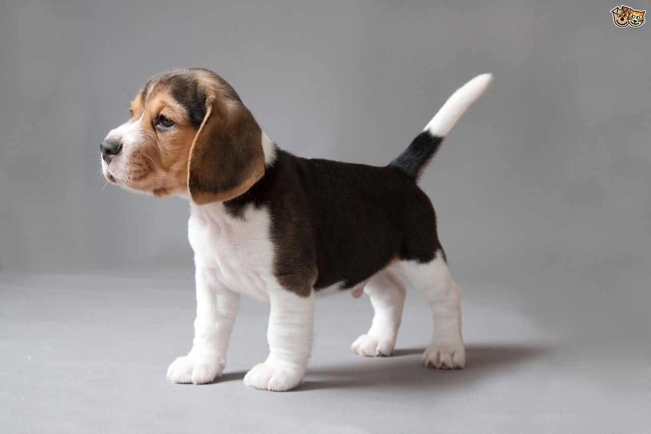 Small Dogs Like Beagles