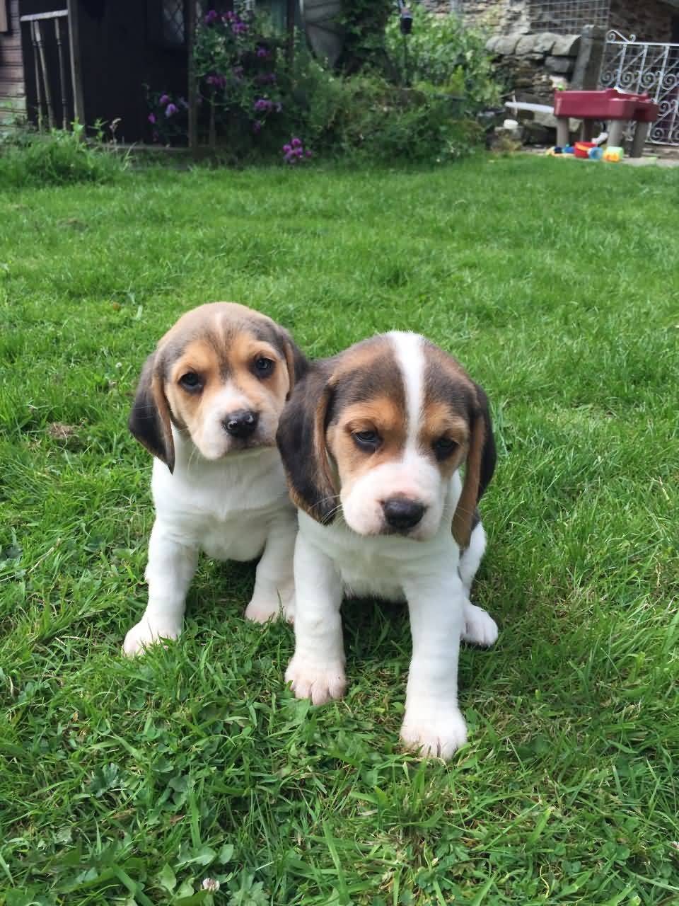 Two Most Beautiful Beagle Dog Puppies Playing In Garden