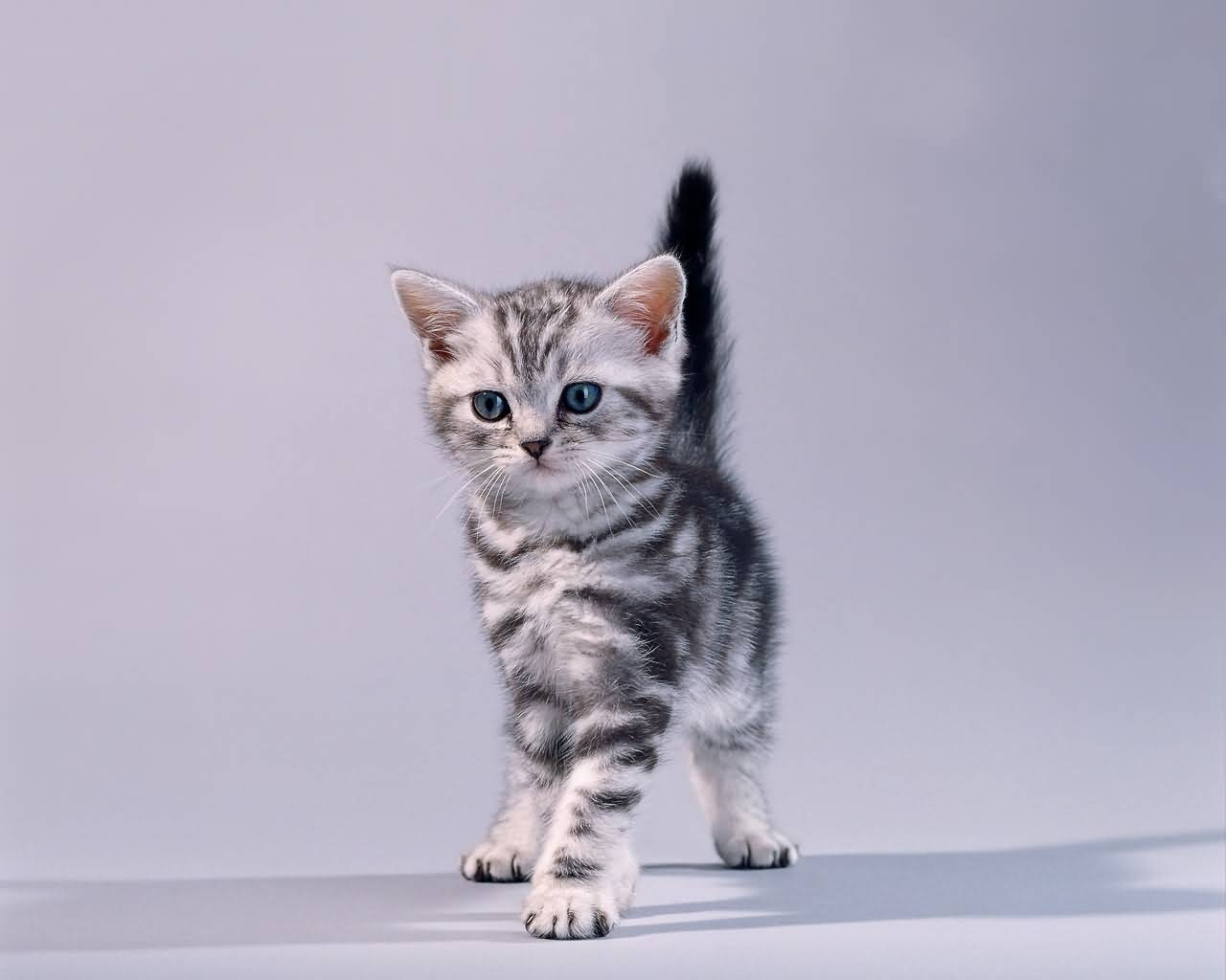 Very Cute American Shorthair Cat Baby For Home