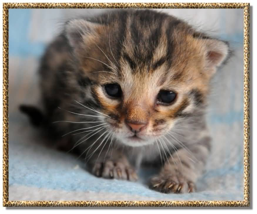 Very Cute Bengal Cat Kitten Have Dark Black Eyes