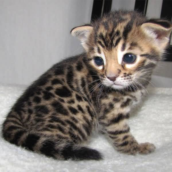 Very Cute Miniature Bengal Cat Baby With Black Eyes