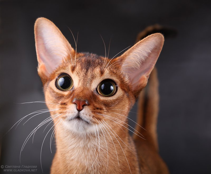 Very Cutest Abyssinian Cat With Black Eyes