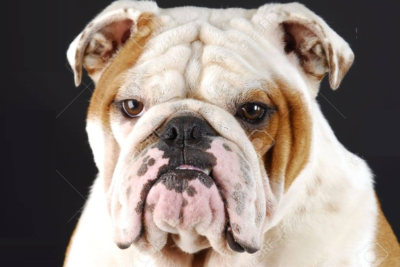 Very Sad White Bulldog Face Wallpaper - Segerios.com Sad Bulldog Face