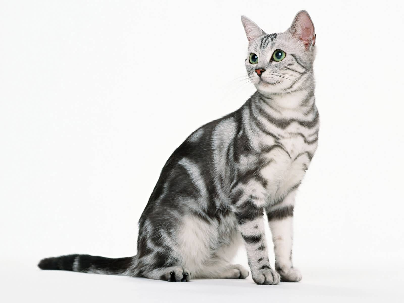 Wonderful Mix American Shorthair Cat With Green Eyes