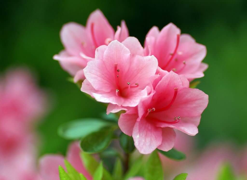 Wonderful Pink And White Azalea Flower