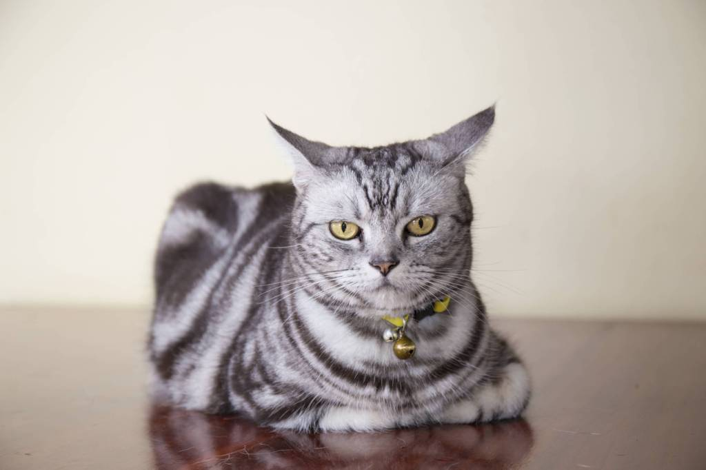 Wonderful And Cute American Shorthair Cat With Yellow Eyes