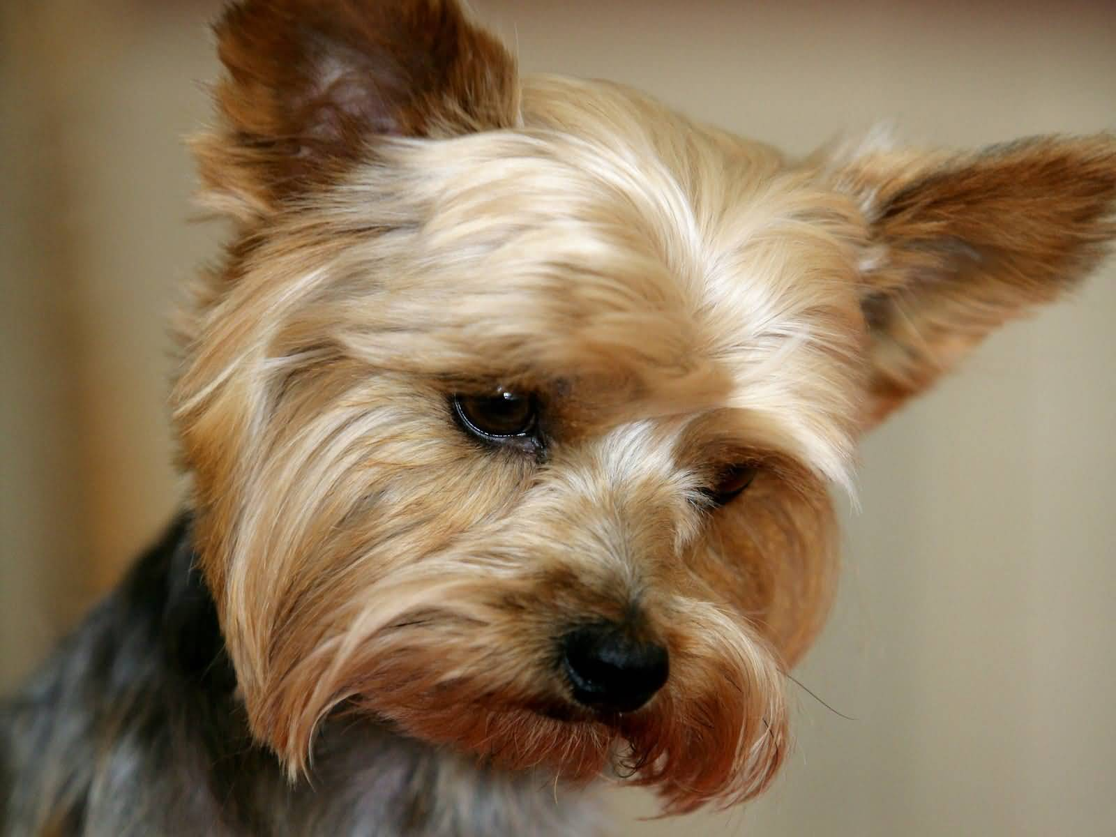 Adorable Yorkshire Terrier Dog Looks So Innocent