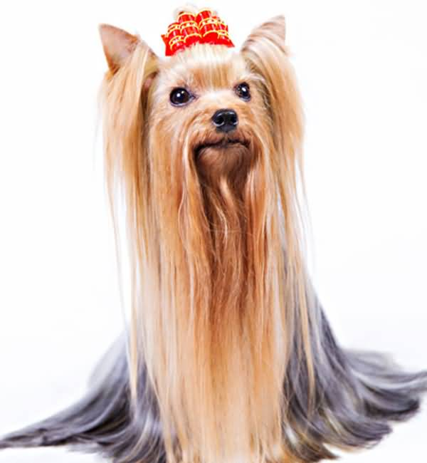 Adorable Yorkshire Terrier Dog With Red Bow And Long Hairs