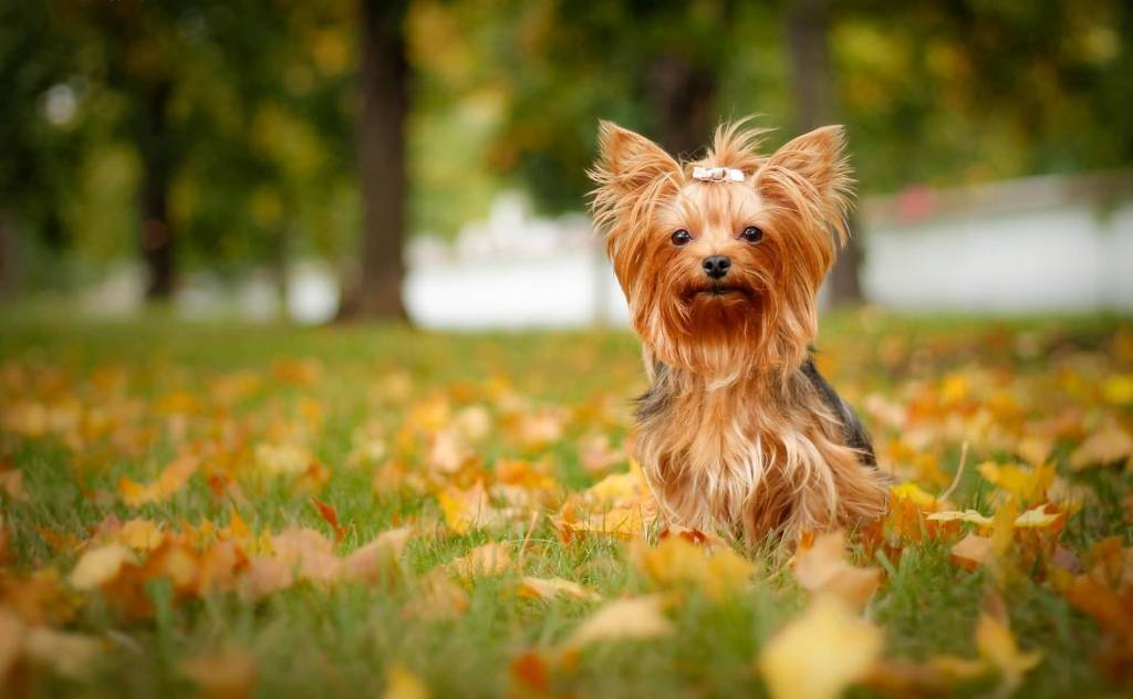 Amazing Brown Yorkshire Terrier Dog Sitting In Garden