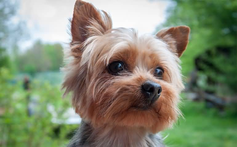 Amazing Face Of Yorkshire Terrier Dog With Black Eyes