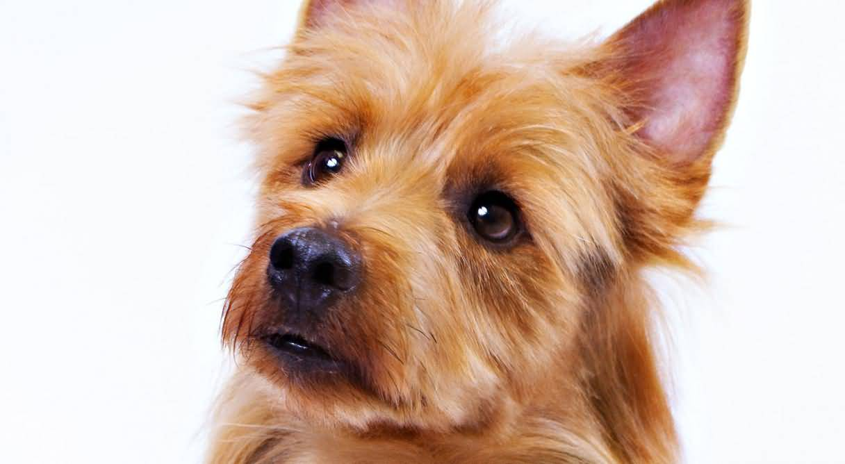 Amazing Yorkshire Terrier Dog Looks Very Confuse