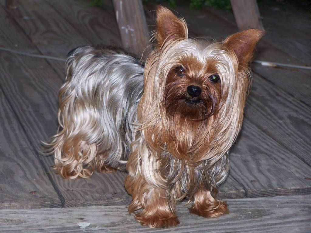 Amazing Yorkshire Terrier Dog With New Hair Cut