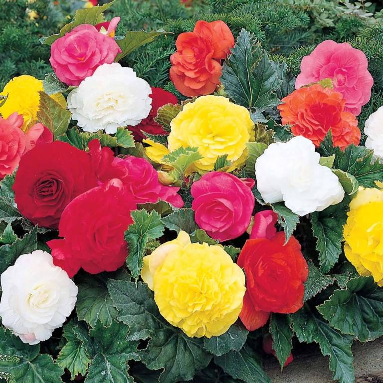 Attractive Red and Yellow Begonia Flower Gardening
