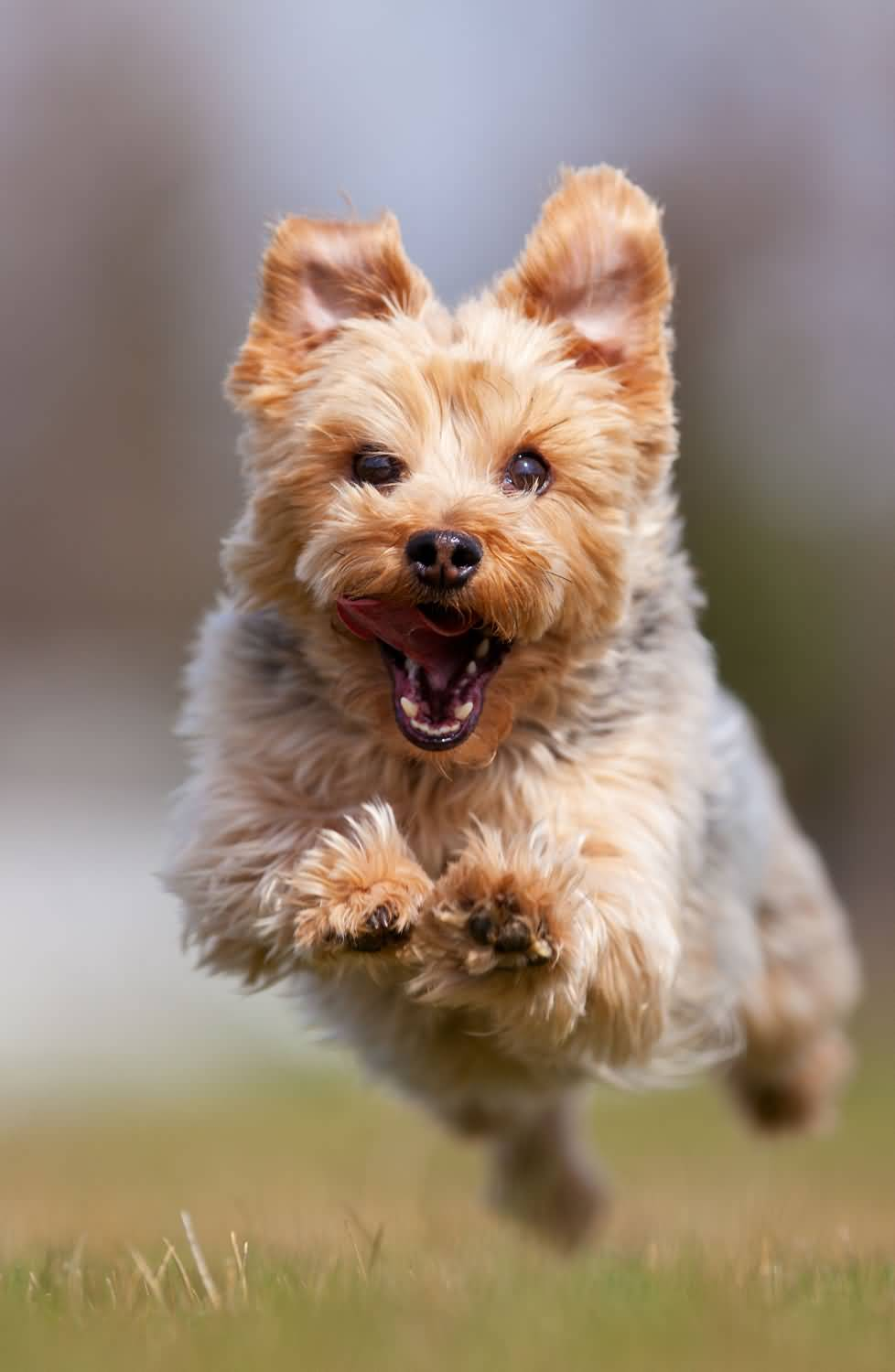Beautiful Yorkshire Terrier Dog Attacking At Someone