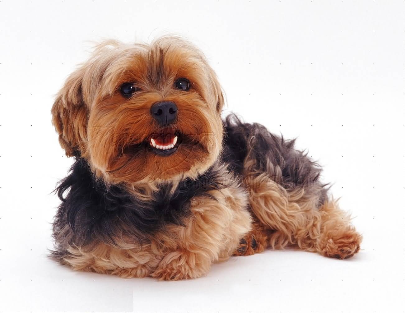 Beautiful Yorkshire Terrier Dog Laughing At Photographer