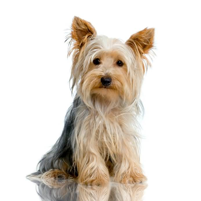Beautiful Yorkshire Terrier Dog With Cool Long Hairs